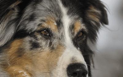 Ultieme gids: ontdek alles over de Australian Shepherd