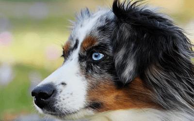 Australian Shepherd: hoe werkt het verharen?