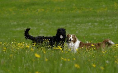 Australian Shepherd in het bruin: een prachthond