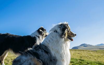 Ultieme gids: jouw Australian Shepherd kopen