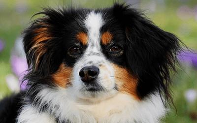 Australian Shepherd puppy: dit moet je weten